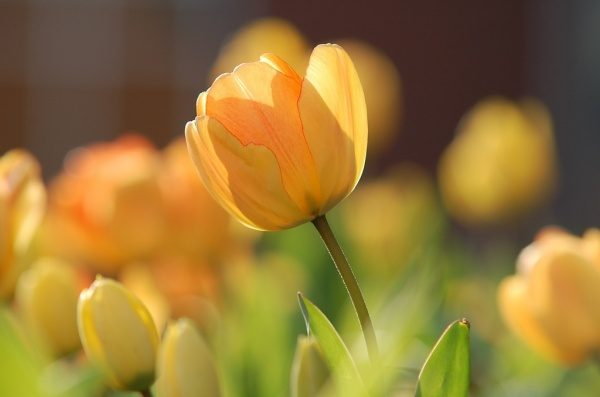Čudoviti rumeni tulipani