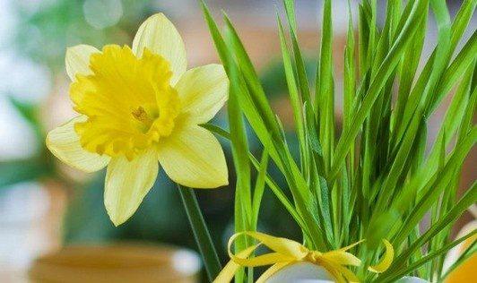 Narcisa - pomlad - velika noč