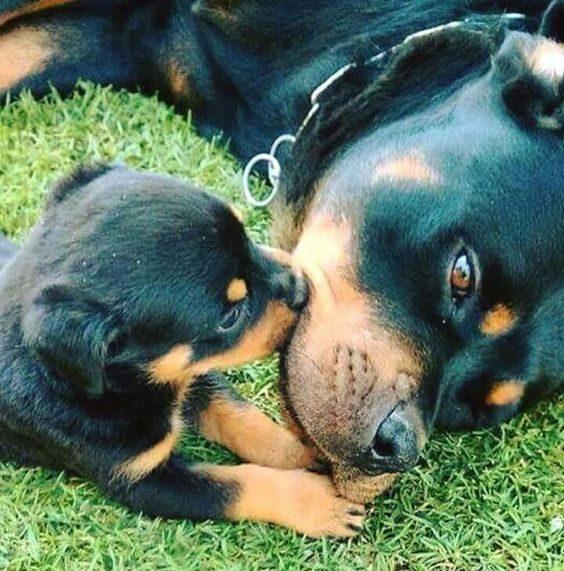 Pasji poljub