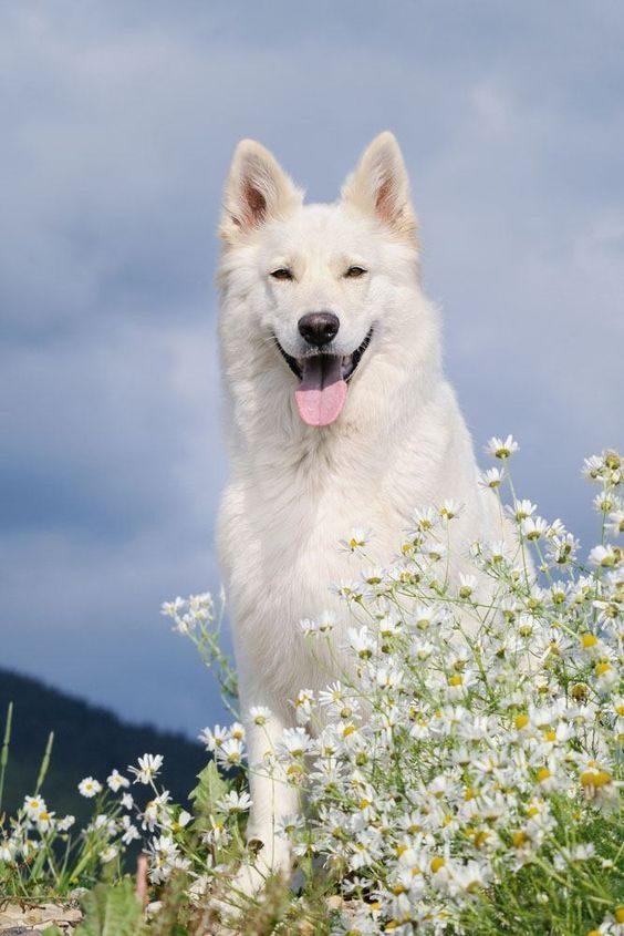 Beli nemški ovčar