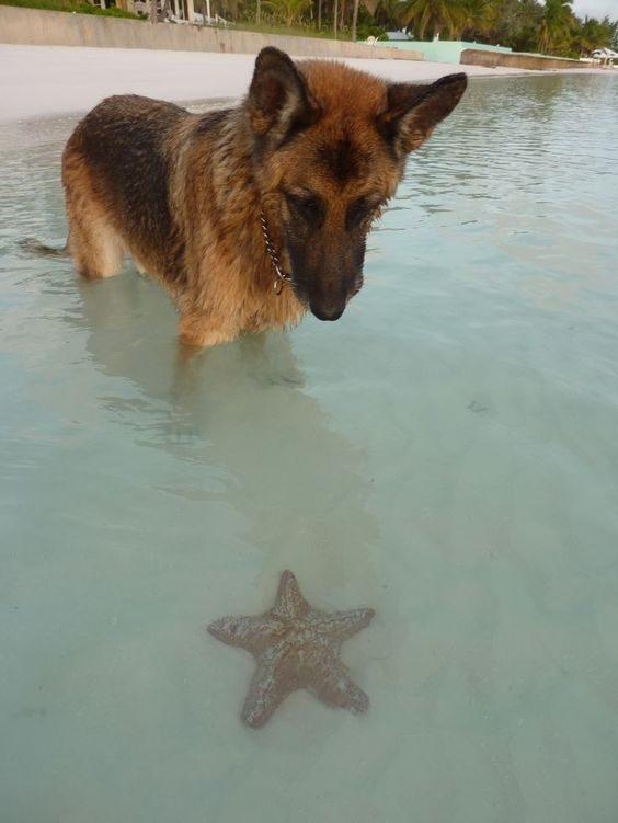 Nemški ovčar občuduje morske zvezde