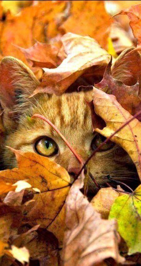 Mačka se je skrila pod jesensko listje
