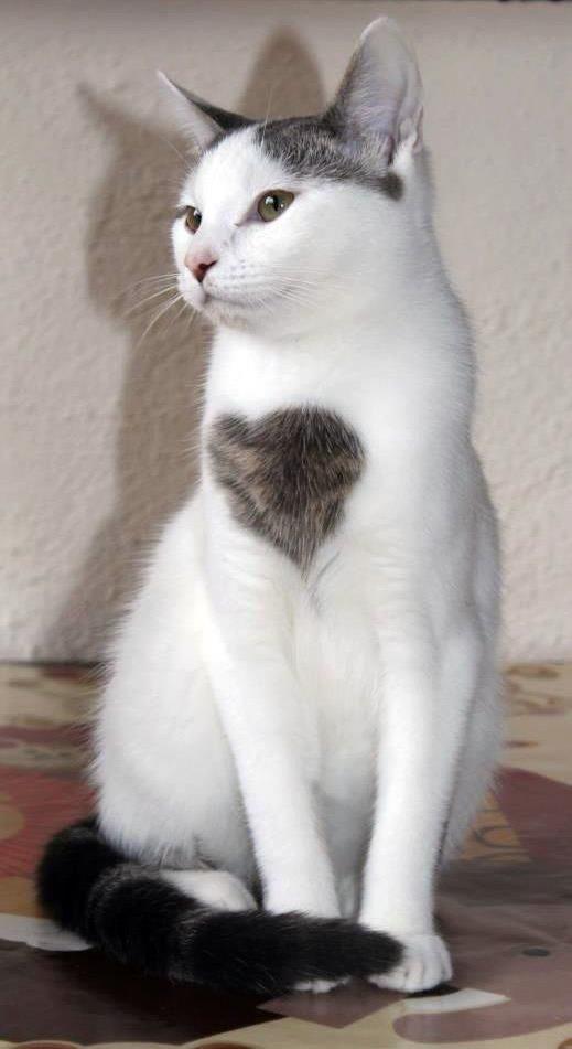 Srce mačka