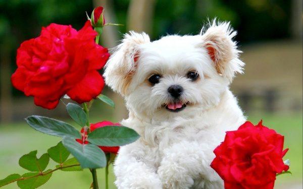 Kuža in vrtnice rdeče