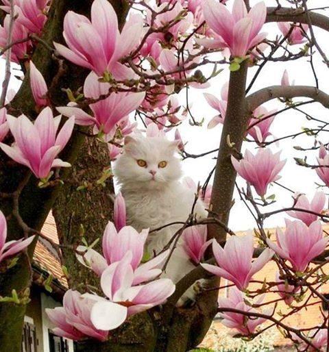Bela perzijska muca - magnolija