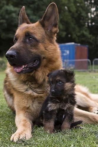 Nemški ovčar z mladičkom