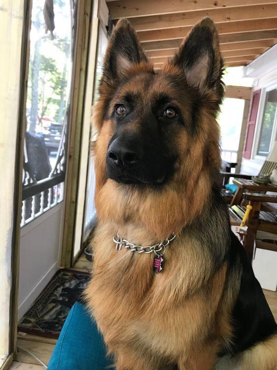 Nemški ovčar - najlepši psi